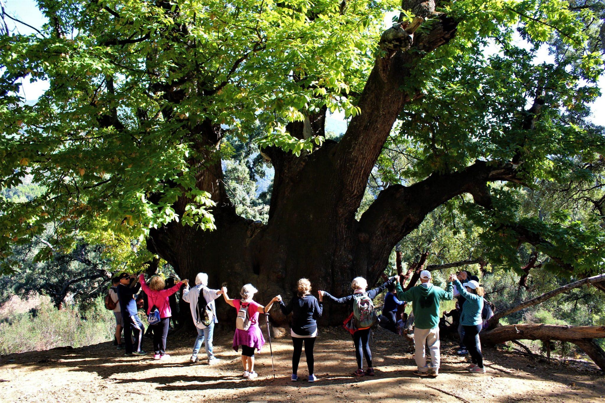 abrazo colectivo para celebrar el nombramiento del Castaño Santo de Istán como monumento natural de Andalucía