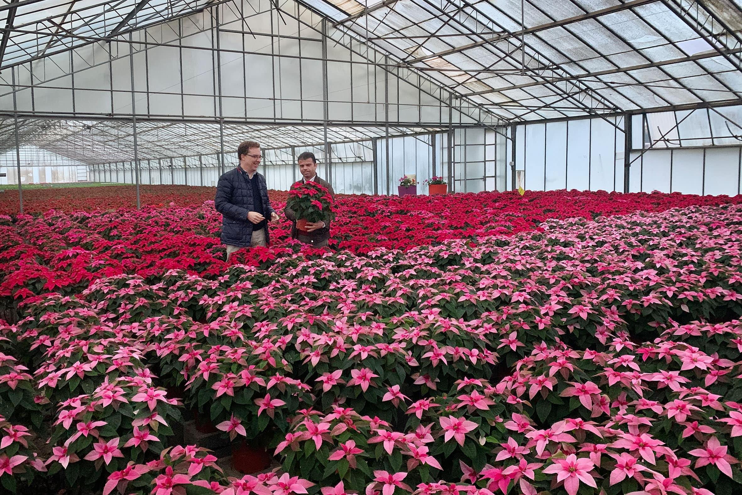 Adornarán con flores de Pascua los espacios públicos ante la Navidad